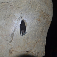 Bat on cave wall - Belize Excursion