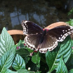 Butterfly at Butterfly Museum in Key West
