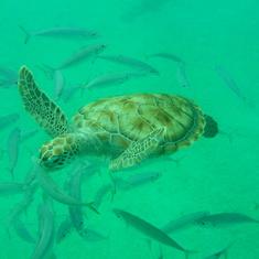 Sea Turtle snorkel in Barbados
