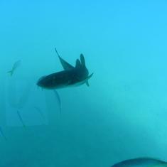 Grand Turk Island - shark