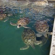 Turtle farm in Grand Cayman.