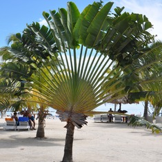Unusal palm, Belize
