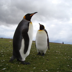 Ushuaia, Tierra Del Fuego, Argentina - King Penguin - Falkland Islands