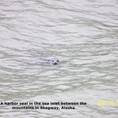 A Harbor Seal in Skagway