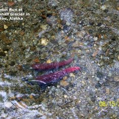 Salmon in the run at Mendenhall Glacier in Juneau